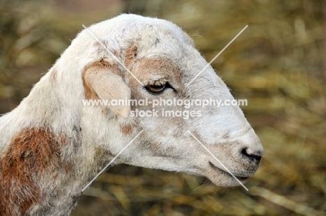 Nguni sheep profile