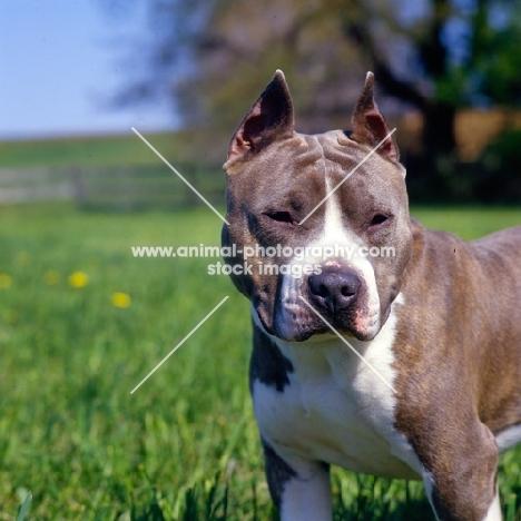 kodiak's kid chuttley, american staffordshire terrier