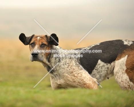 alert old English type foxhound