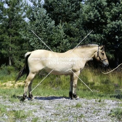 fjord pony mare in uk