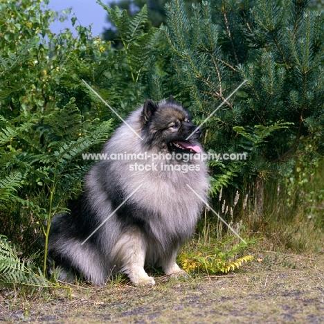 ch neradmik jupiter,  keeshond sitting, CC breed record holder