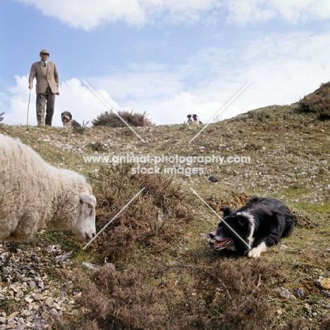 border collie eyeing sheep