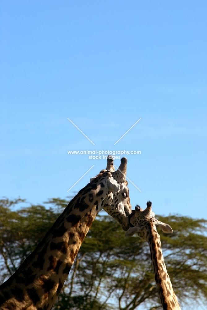 giraffe with child