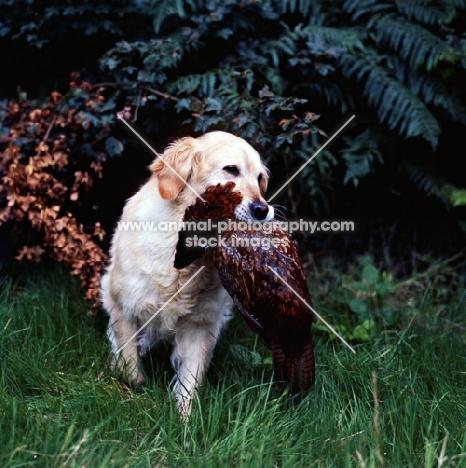 ch pippa of westley, golden retriever retrieving a pheasant