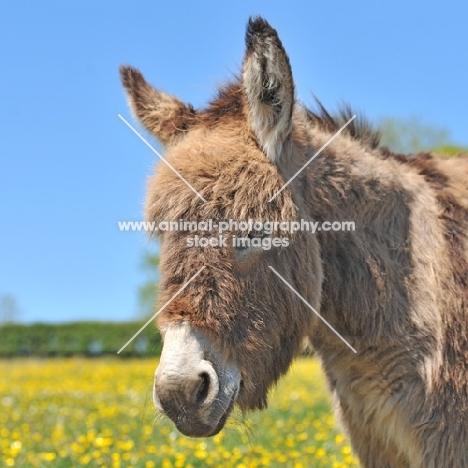 donkey in buttercup field