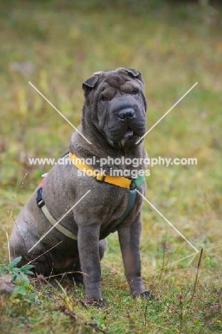 blue shar pei sitting in a field