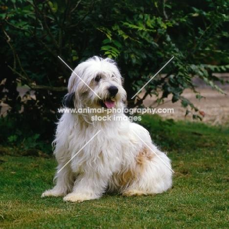 sitting polish lowland sheepdog, megsflocks, polski owczarek nizinny