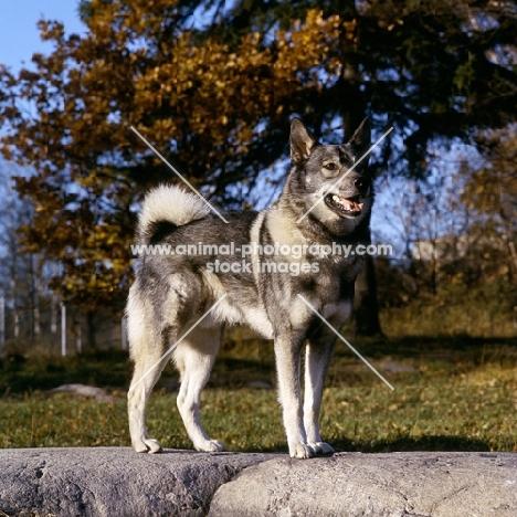 stepp, swedish elkhound on rock