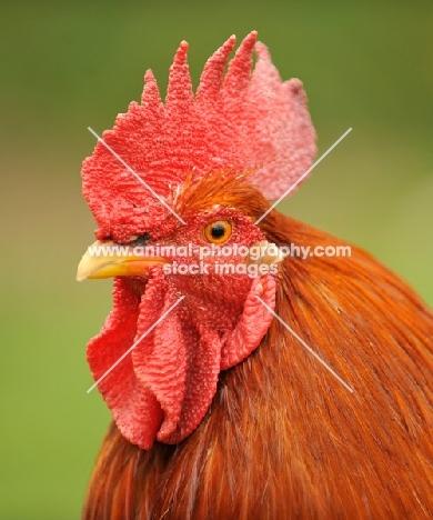 Rhode Island cockerel