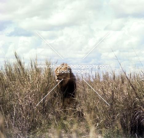 lion walking amongst long grass amboseli national  park Africa