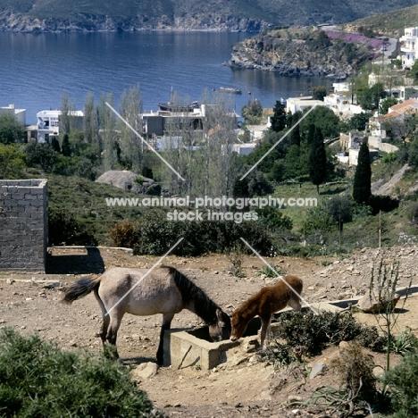 skyros pony mare and foal on skyros island, greece