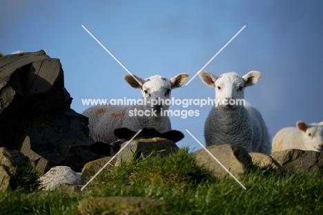 Texel cross lambs