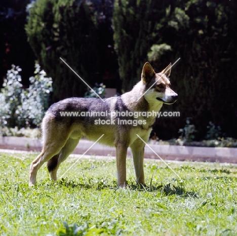guzzi lupo zwart van helmond,  saarloos wolfhound on grass