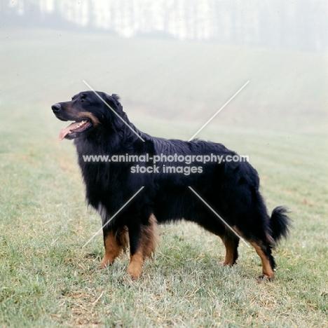 ger ch asko vom brunnenhof, hovawart standing in a misty field