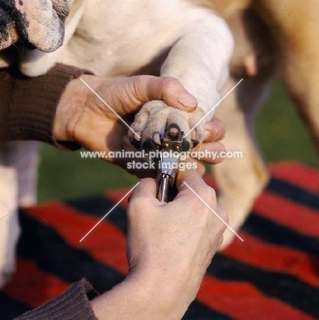 bulldog having nails clipped
