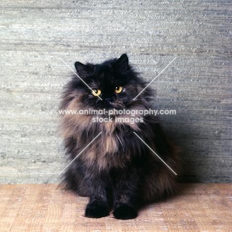 champion chadhurst june melody, long hair tortoiseshell cat