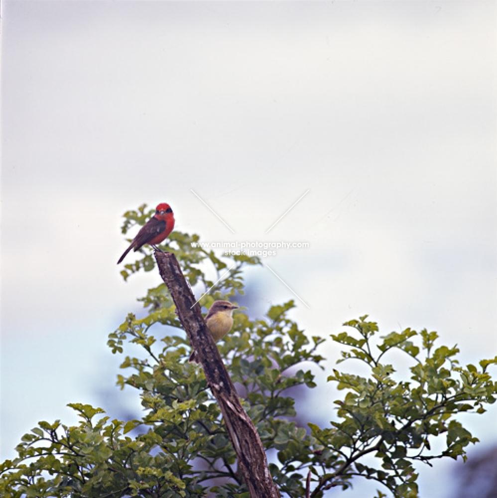 male and female vermillion fly catcher, santa cruz island, galapagos islands