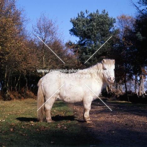 shetland pony in winter with shaggy coat