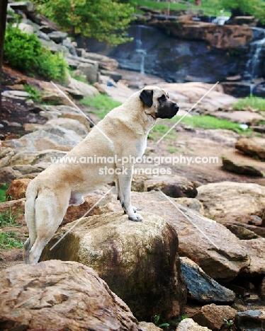 Anatolian Shepherd Dog on rocks