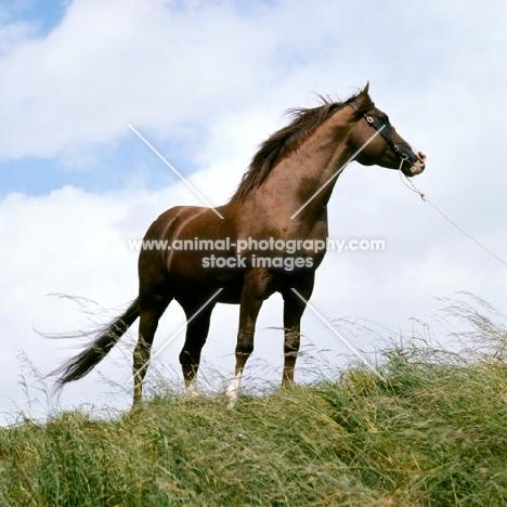 Arab stallion UK