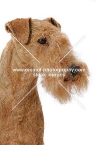 Lakeland Terrier, Australian Grand Champion multi best in show winner