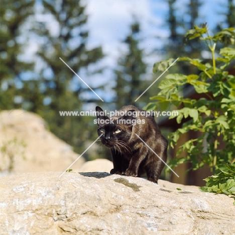 champion brown burmese cat crouching