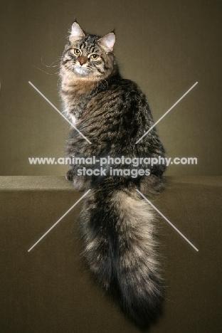 Siberian cat, back view