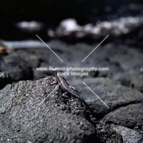 lava lizard on fernandina island, galapagos islands