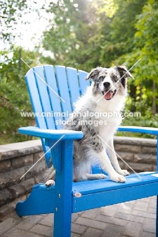 Blue merle Australian Shepherd sitting on blue chair outdoors.