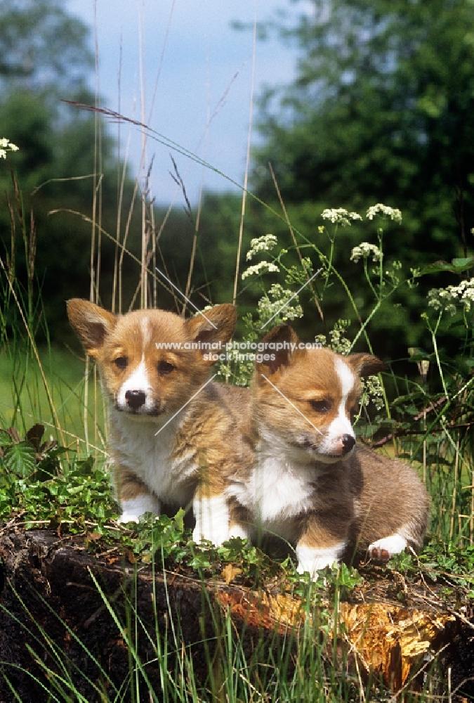 pembroke corgi puppies on a log in a garden