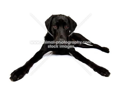 Black Labrador lying in the studio, legs spread wide