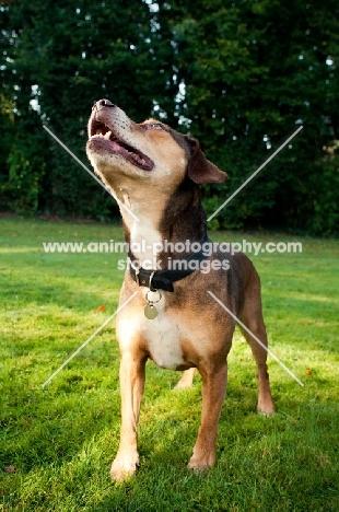 Staffordshire Bull Terrier cross Beagle posing for treat in garden
