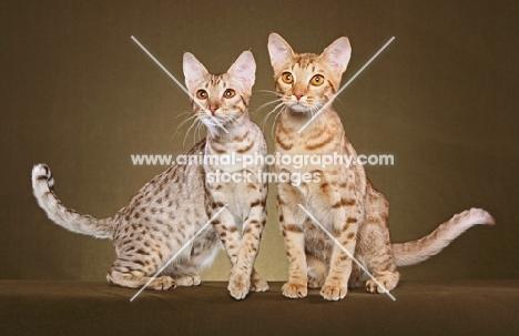 two Ocicats