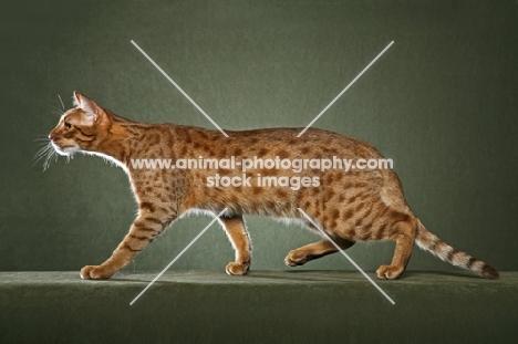 Ocicat walking on green background