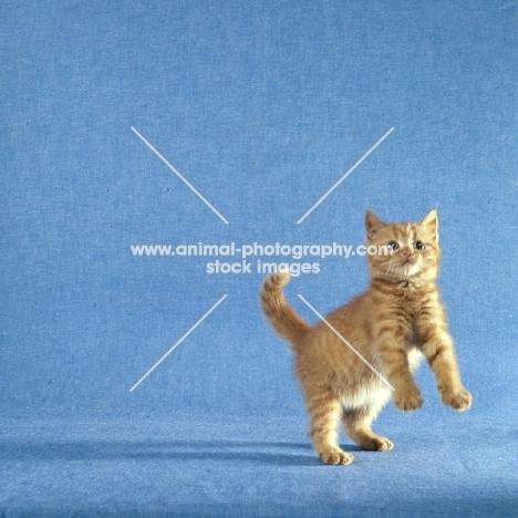 red tabby long hair kitten jumping up
