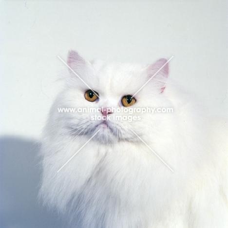 ch j. b. van cleef of silva-wyte, orange eyed white cat, portrait on white