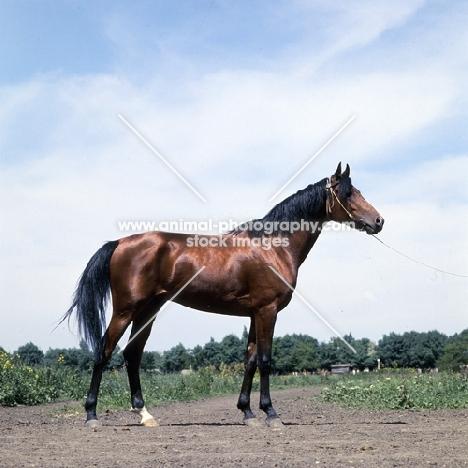 akhal teke stallion at piatigorsk hippodrome