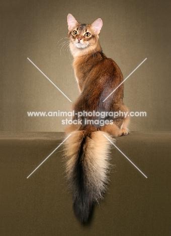 Somali cat, back view