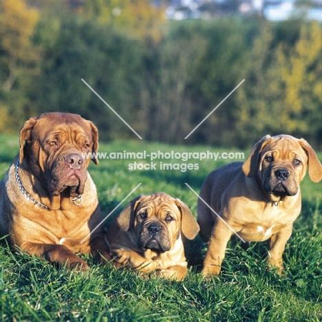 dogue de bordeaux mother with puppies