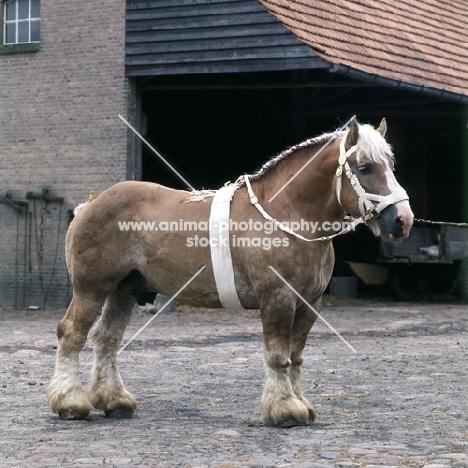 Herman van Halfweg, Dutch Draught Horse stallion full body