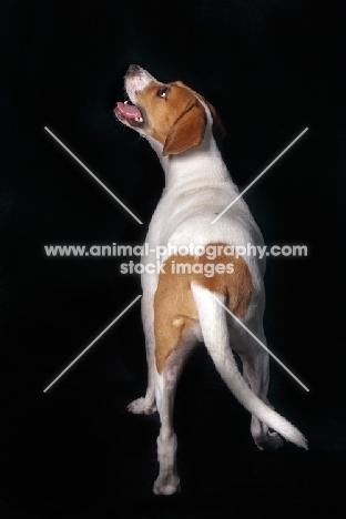 Beagle, back view