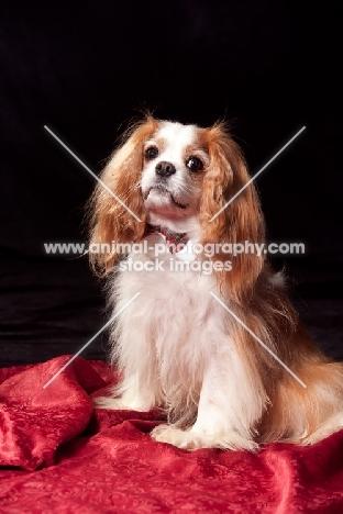 cavalier king charles spaniel wearing dickie bow