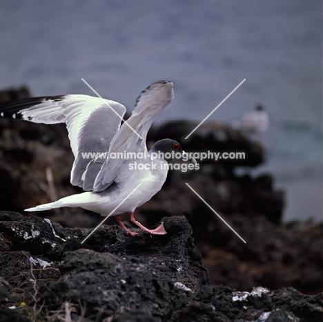 swallow tailed gull landing on lava rock, champion island, galapagos islands