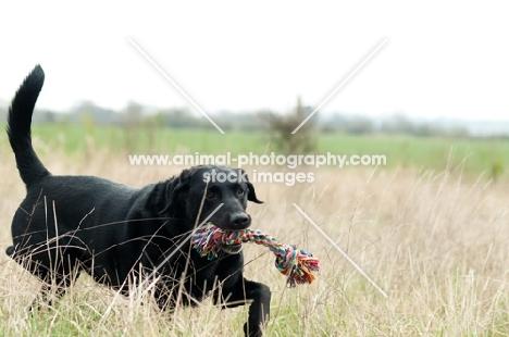 Pet Labrador retrieving rope toy in long grass