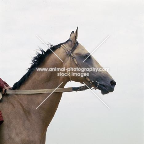 polotli, famous akhal teke stallion head and shoulders