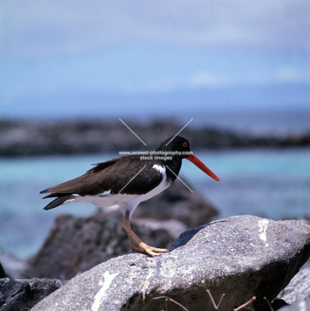 american oystercatcher on rock, hood island, galapagos islands