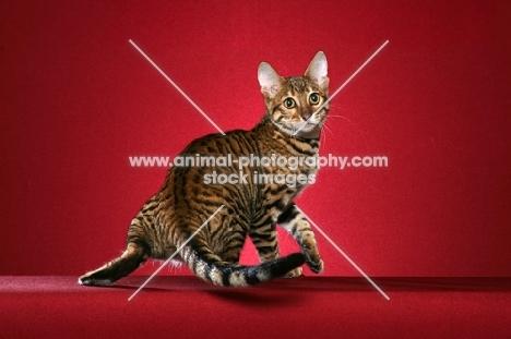 Toyger cat turning