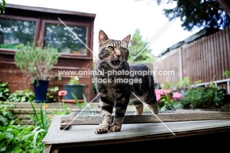 Tabby cat meowing in garden