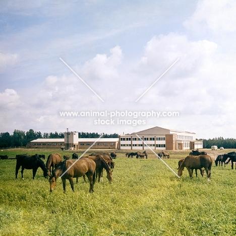 Latvian horses in field