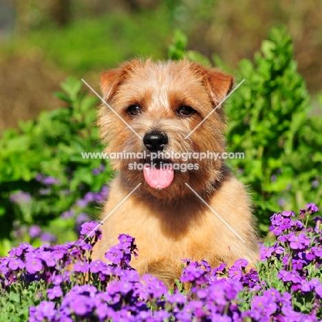 Norfolk Terrier in flowerbed